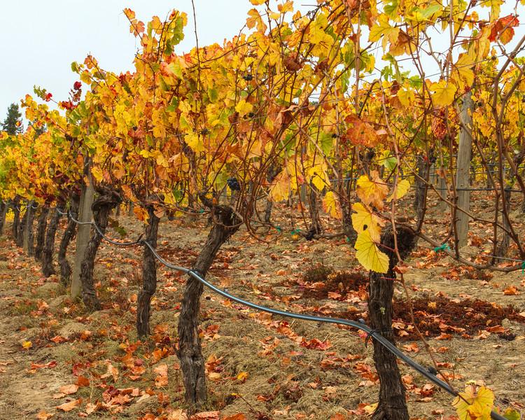 Fall Colors in Joseph Swan Vineyard