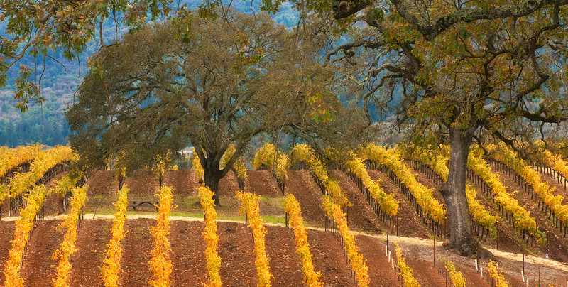 BR Cohn Olive Hill Vineyard Fall Colors