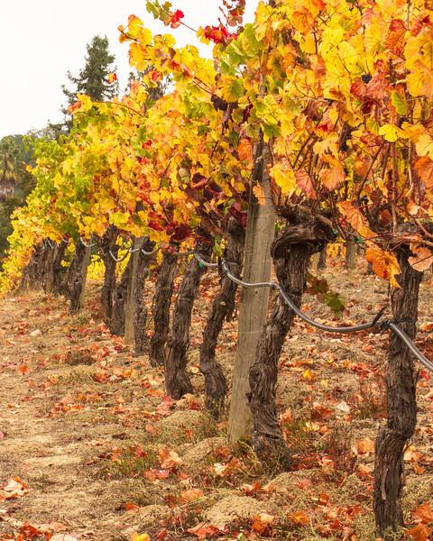 Fall Colors in Joseph Swan Vineyard II