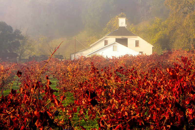 Fall Colors in Pagani Vineyard Sonoma Valley II