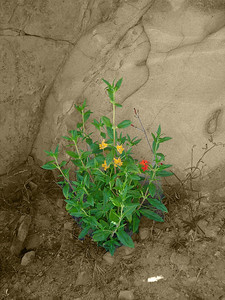 Castro Crest Flower Sepia
