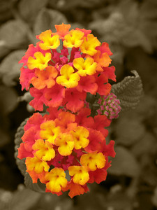 Red Yellow Flowers Sepia