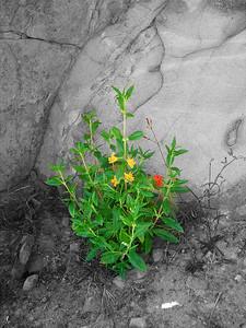 Castro Crest Flower B&W