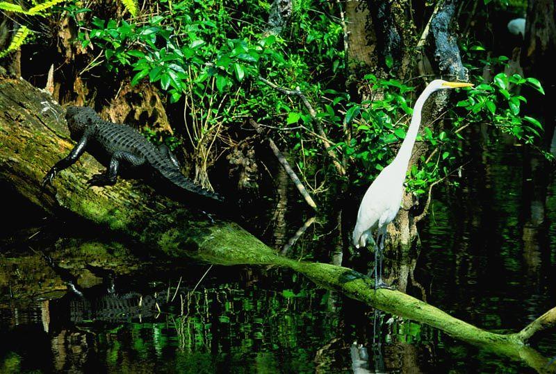 (I084) Alligator & Egret in Big Cypress National Preserve, Florida