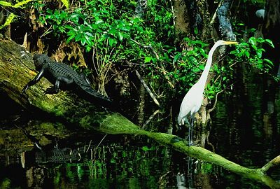 (I084) Alligator & Egret in Big Cypress National Preserve, Florida