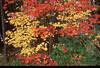 New Hampshire Maples  (NE-0334)
