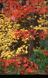 (NE-0335)  New Hampshire maples in autumn