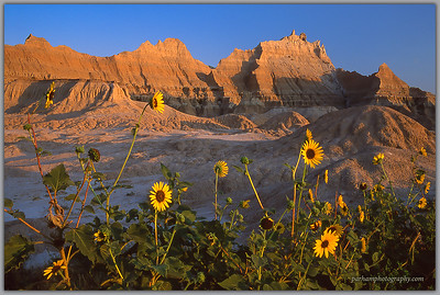 Sunflowers and Badlands at Sunrise   (SD-0214)