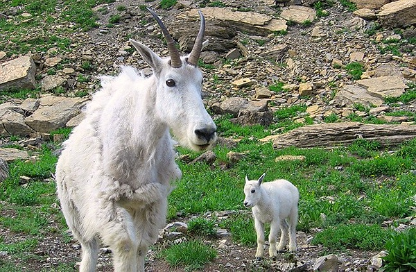 (IMG-3111)  Mom and Kid Mountain Goats