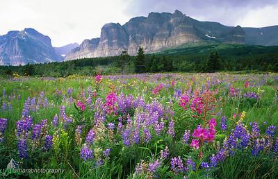Glacier Wildflowers  (B080)