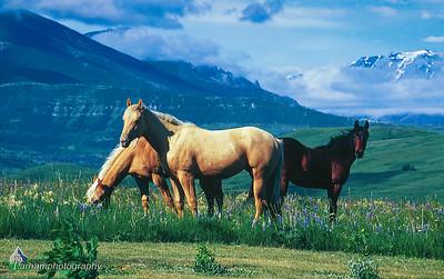 Montana Horses  (A002)