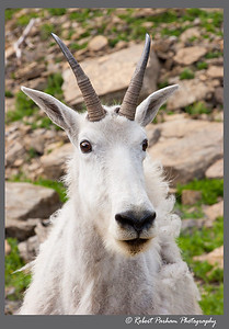 (SG-07003)  Mountain Goat Portrait