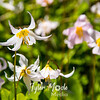 208  G Avalanche Lilies