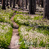 294  G Avalanche Lilies Trail Wide