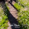 209  G Avalanche Lilies Trail Shadows