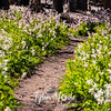 305  G Avalanche Lilies Trail
