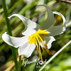 275  G Avalanche Lily