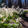 321  G Avalanche Lilies Ground Trail