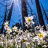 328  G Avalanche Lilies Sun V