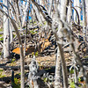 15  G Deer in Trees