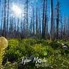 37  G Bear Grass Sun
