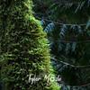 64   G Mossy Tree