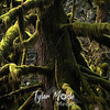 136  G Wahkeena Spring Tree Moss