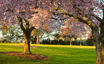 Cambridge, Leamington, New Zealand - Spring 2012