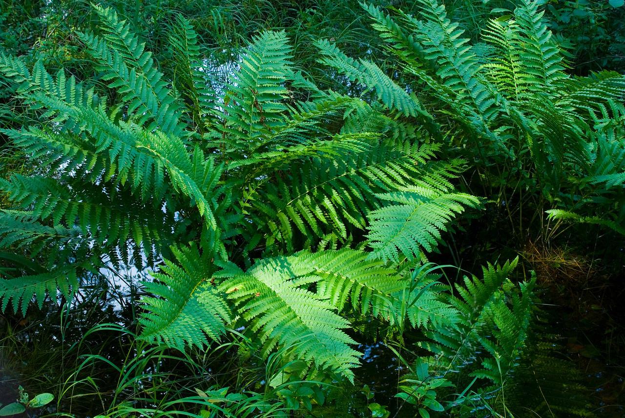 Adirondack ferns