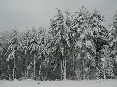 White Pines in our front yard