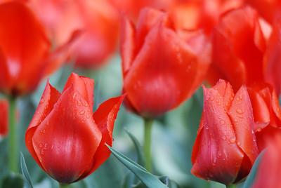 Tulips in Boulder