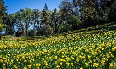 DaffodilHill