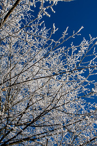 From Underneath - a tree covered in frost at Packwood House