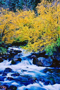 Cottonwood trees in autumn foliage hover over Big Cottonwood Creek.  Bill's original capture was on film in 1999.