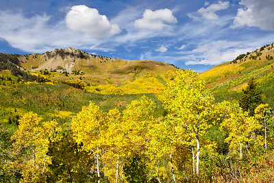 Large aspen grove on the slopes of Mill A Basin with Mount Raymond and Baker Pass in the background in Big Cottonwood Canyon