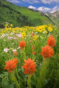 Paintbrush, showy goldeneye sunflowers and sticky geraniums in the Albion Meadows area of Little Cottonwood Canyon at the peak of wildflower bloom in early August
