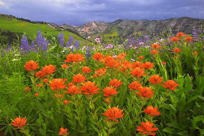 was22: Phyllis got low and close to summer blooms of Indian paintbrush, silvery lupine and sticky geraniums, with stormy clouds on the horizon in the Albion Meadows area of Little Cottonwood Canyon