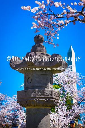DC Cherry Blossoms - 10 Apr 2014