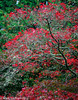 Red Maple Glow 10-2011