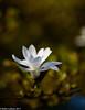 Magnolia Bloom 04-2017