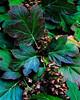 Arboratum Hydrangea