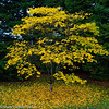 Yellow Arboretum Maple 10-2013