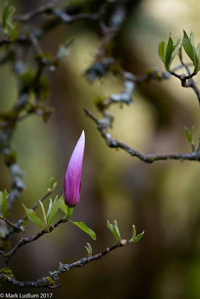 Magnolia Bud 04-2017