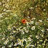 Poppy and pop-eye daisies