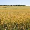 Fields of Gold in Penshaw