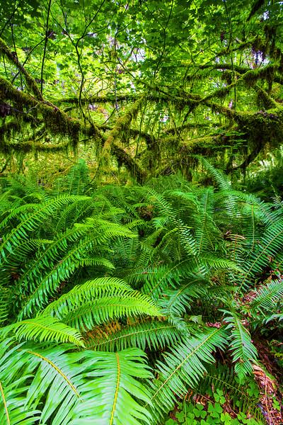 Washington, Olympic National Park, Hoh Rain Forest, 华盛顿州, 奧林匹克國家公園, 雨林