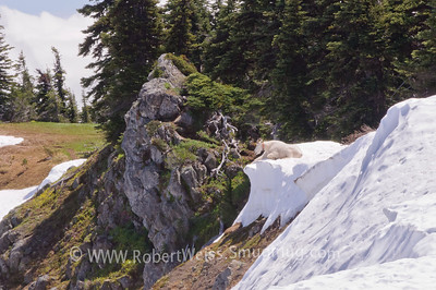 Wild goat enjoying the view at the end of the Hurricane Ridge trail.