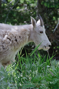 Wild Goats on Hurricane Ridge trail.