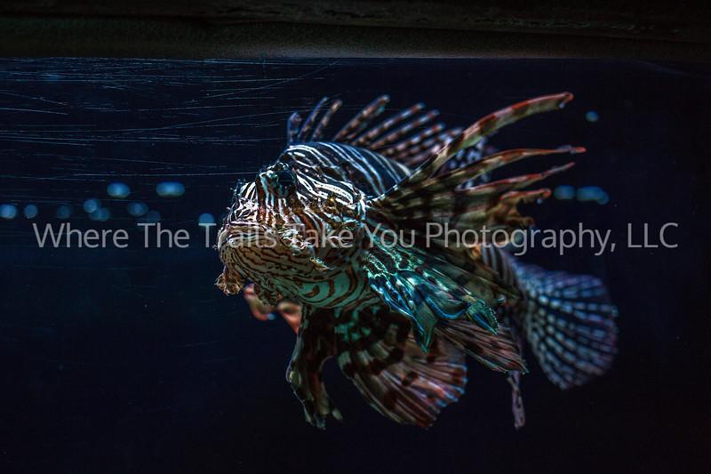 29.  Scorpion fish