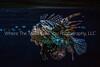 79  Scorpion Fish